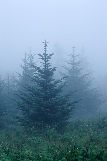Frazier fir - Compressed